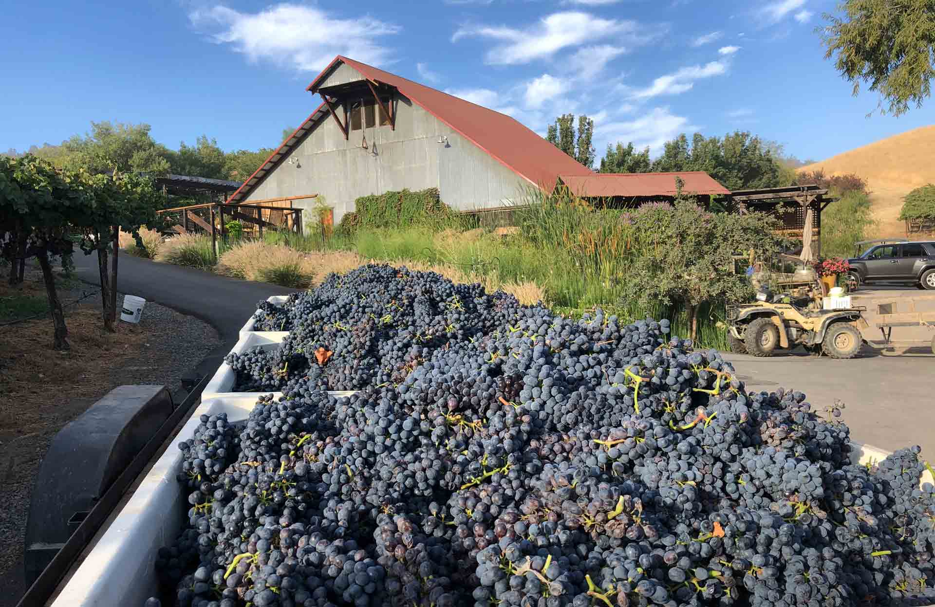 Grape Harvest at Taber Ranch